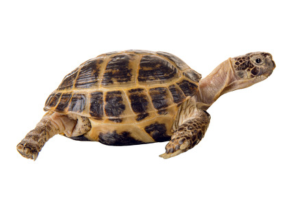 overland digging turtle extended a neck, on white background; isolated, close up