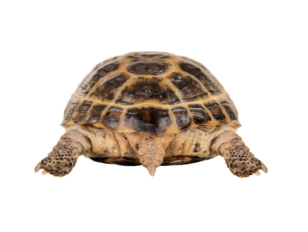 Back overland digging turtle with tail, on white background; isolated, close up Stock Photo