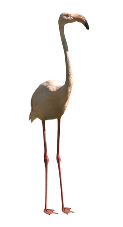 one pink flamingo closeup, to wild nature, vertical photo, on white background; isolated Reklamní fotografie