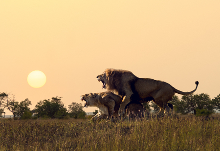 two wild lion pairing in african arid savannah, horizontal photo Reklamní fotografie