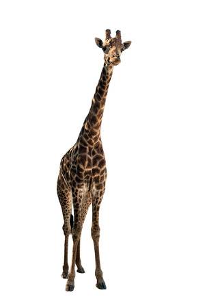 giraffe with the lengthiest neck, on white background, isolated
