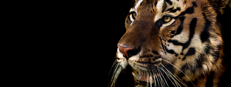 Wild Siberian tiger on nature, closeup horizontal photo