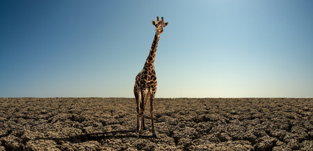 giraffe on landscape with severe drought desert, horizontal photo