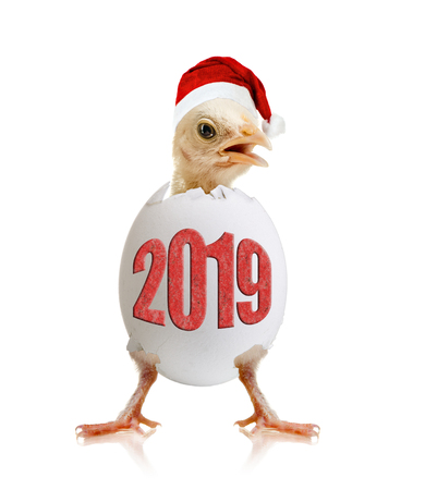 newborn hatch little chick with egg, on white background, isolated, 2019 New Year concept