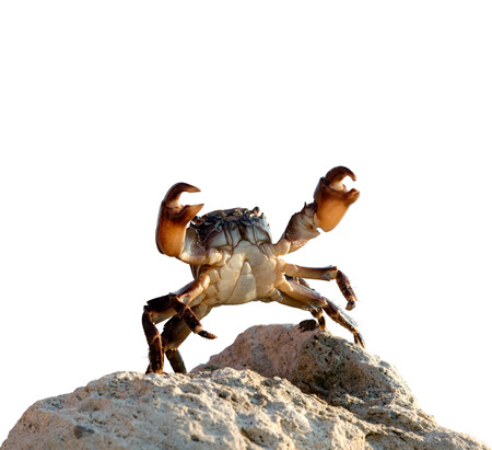 crab bricklayer stand and threateningly lifted claws up, on white background; isolated Reklamní fotografie - 117854384