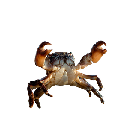 crab bricklayer stand and threateningly lifted claws up, on white background; isolated Banco de Imagens