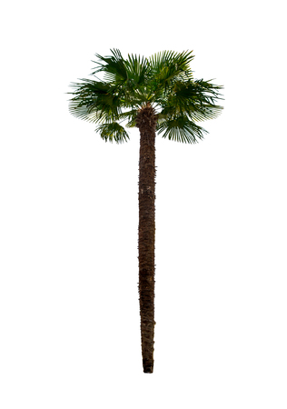 single palm tree on white background