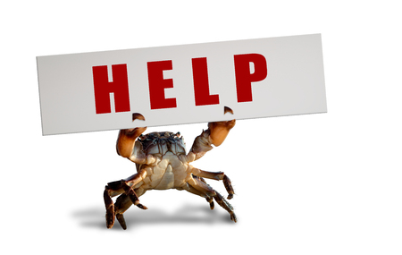 crab bricklayer stand and lifted claws up with white board , on white background; isolated, animal protection (endangered species)  concept