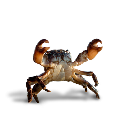 crab bricklayer stand and threateningly lifted claws up, on white background; isolated Reklamní fotografie