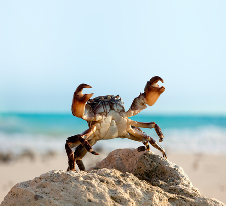 wild crab bricklayer stand and threateningly lifted claws up on sea coast background