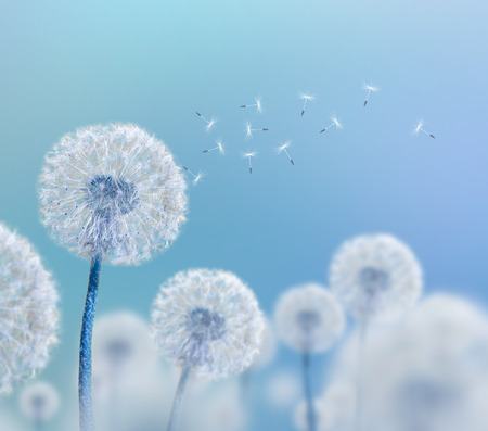 white dandelions on blue background, wide view Stock Photo