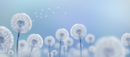 white dandelions on blue background, wide view Banco de Imagens
