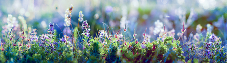wild blue flowers and grass closeup, wide horizontal panorama photo Reklamní fotografie - 118715344