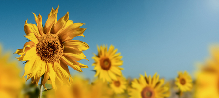 beauty field of sunflower, horizontal panoramic view