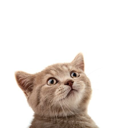closeup head beautiful brown little kitten wth space empty, on white background , isolated