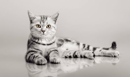 one grey stripy beautiful little kitten, lie on gray background, pattern with empty space