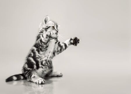 one grey stripy beautiful little kitten, stands on the hind legs and playing on grey background Stock Photo