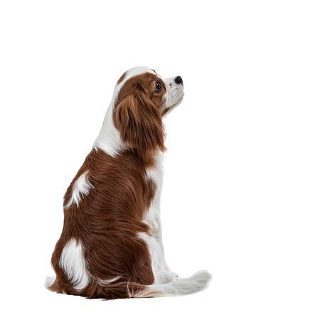 Retrato de curioso perro de pura raza, cachorro Cavalier King Charles Spaniel, sentarse sobre fondo blanco se volvió hacia atrás, aislado