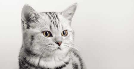 closeup head beautiful brown little kitten Scottish fold; wth space empty for text, on grey background