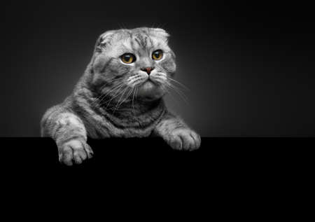 fluffy gray beautiful adult cat, breed scottish-fold, close portrait on dark background with black empty place for text