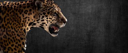 cheetah; leopard; jaguar on horizontal dark gray concrete wall background Stock Photo