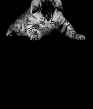 gray beautiful kitten, breed scottish-straight on black background, look down. Empty cpace for text