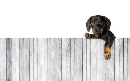 One little puppy dog dachshund over board of wooden plank. Empty space for text Stock Photo