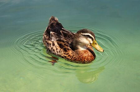 Funny duck in the lake  photo