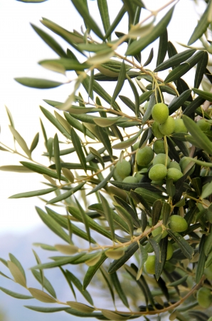 Olive tree branch with green olives  Stock Photo