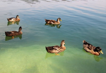 Funny ducks in the lake photo