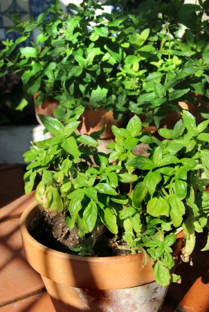 Basil and other herbs in the pot
