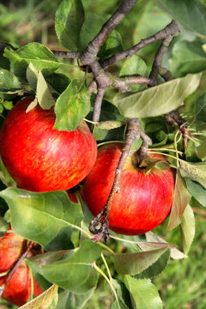 Beautiful apple tree with the ripe red apples on the branch photo