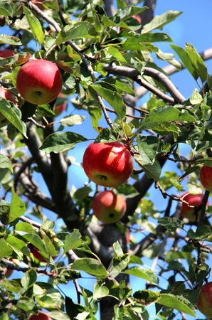 Beautiful apple tree with the ripe red apples on the branch and blue sky  photo