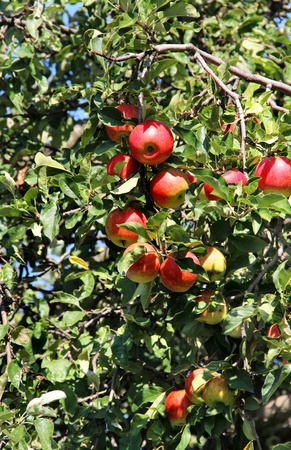 Beautiful apple tree with the lot of ripe red apples on the branch photo