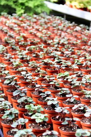 Rows of small sprouts in the greenhouse photo