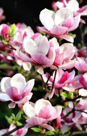 Beautiful trees in bloom with beautiful big flowers   Standard-Bild
