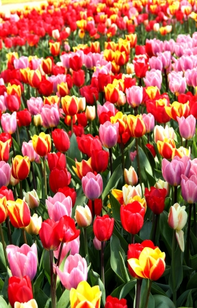 Holland beautiful vivid tulip fields photo