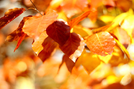 Beautiful yellow and orange autumn leaves and sunshine photo