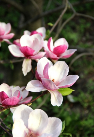 Beautiful magnolias in bloom with beautiful big flowers   photo