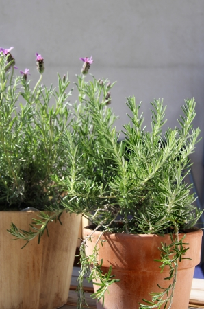 Rosemary, lavender and other herbs in the pot
