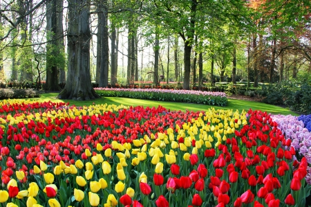 Mix of Holland tulips and spring hyacinths  Stock Photo