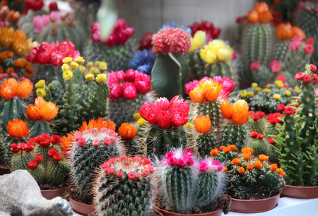 Big mix of beautiful vivid bloomy cactuses