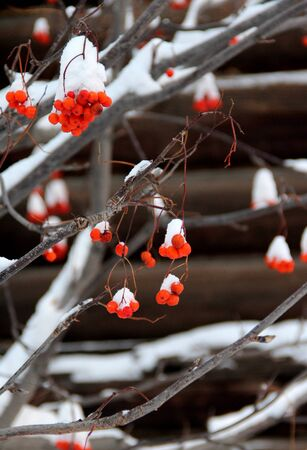 Branch of rowanberries covered by snow, Russia