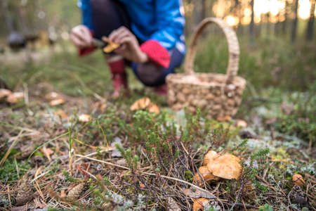 A woman in a blue raincoat picking a group edible mushrooms in a mossy forest