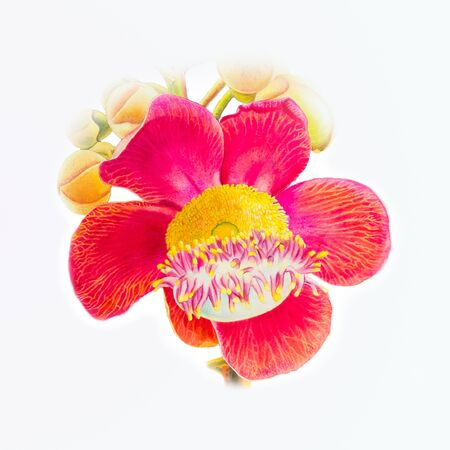 Painting illustration watercolor original realistic red flower of sal flower and  pattern in white background. Imagens