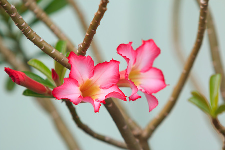 adenium obesum balf: Azalea flowers used to decorate the garden.
