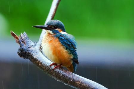 kingfisher: common kingfisher