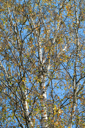 fine cane: beautiful birch with autumn colored leaves