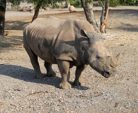 large sunlit Rhino on the road