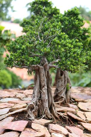 bonsai tree: unusual beautiful bonsai tree in a park